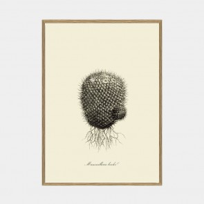 Mammillaria Licolor
