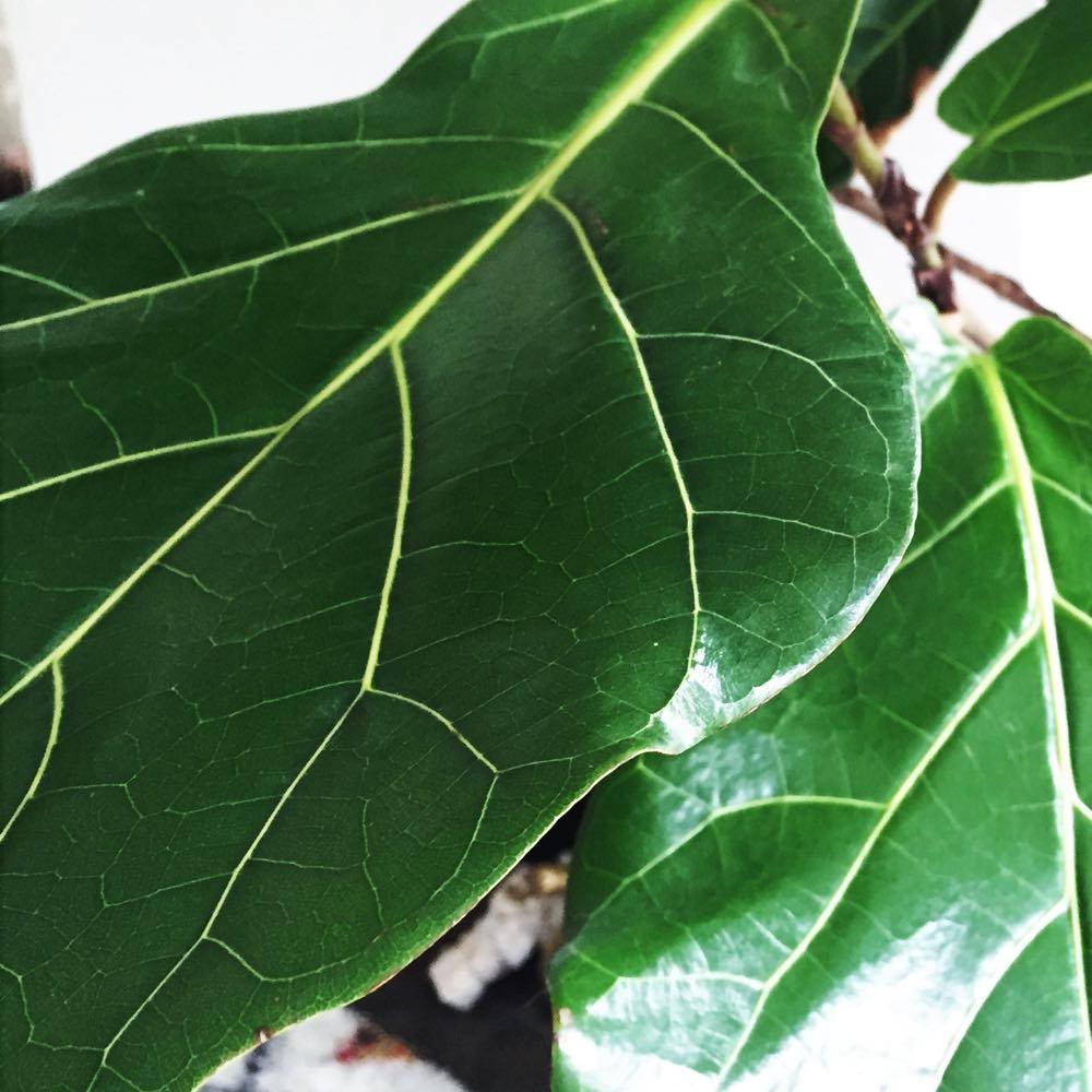 Ficus Lyrata (L)