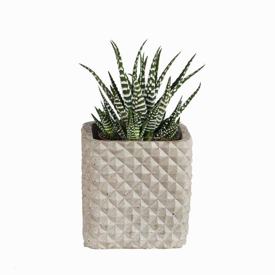 Otto square cactus pot