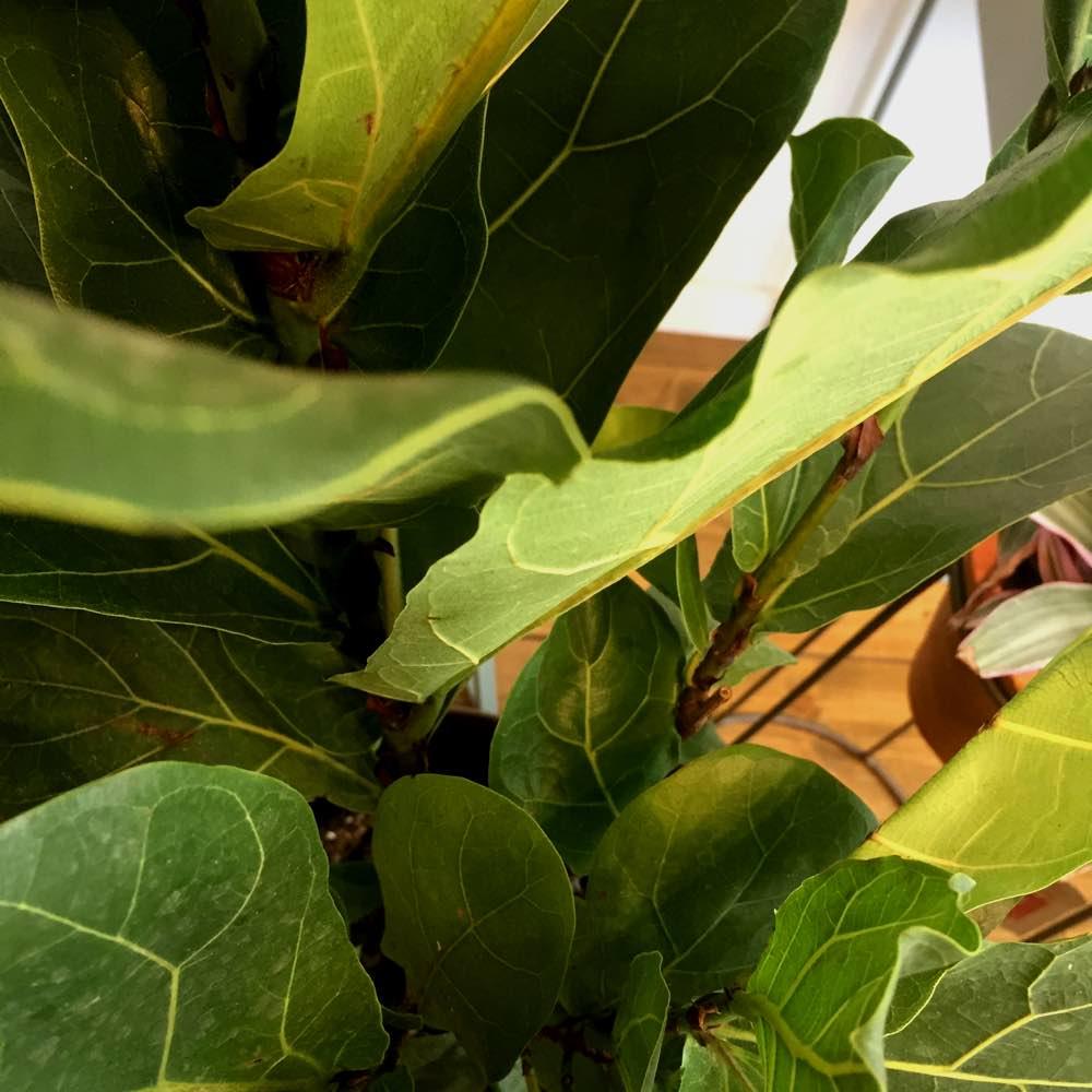 Ficus Lyrata (M)